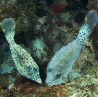 scrawled filefish 2 - reefs