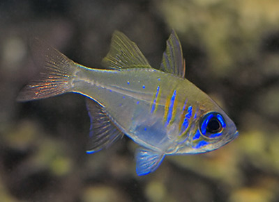 threadfin cardinalfish - reefs