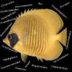 Butterflyfish Classification Is Needlessly Complex (And How To Fix It)
