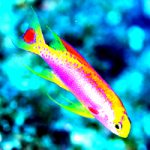 An Updated Guide To Ventralis Anthias Identification and Biogeography