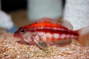 S. pulcher, aquarium specimen. Credit: Digiman