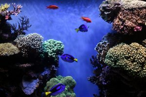 These Dories at the Monterey Bay Aquarium are living a good life. Credit: Sandip Bhattacharya