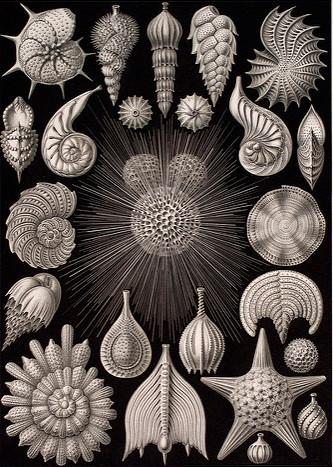Credit: Kunstformen der Natur, by Ernst Haeckel.