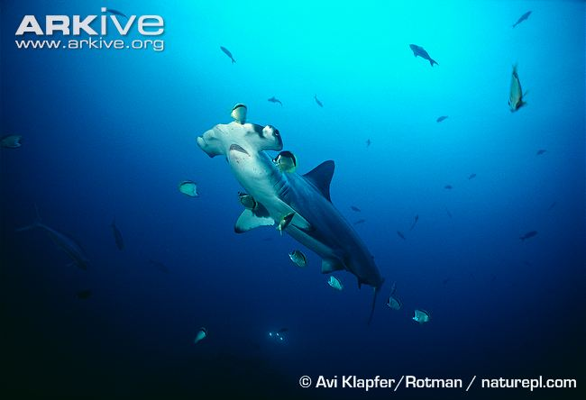 Barber-fish-cleaning-a-scalloped-hammerhead-at-a-cleaning-station