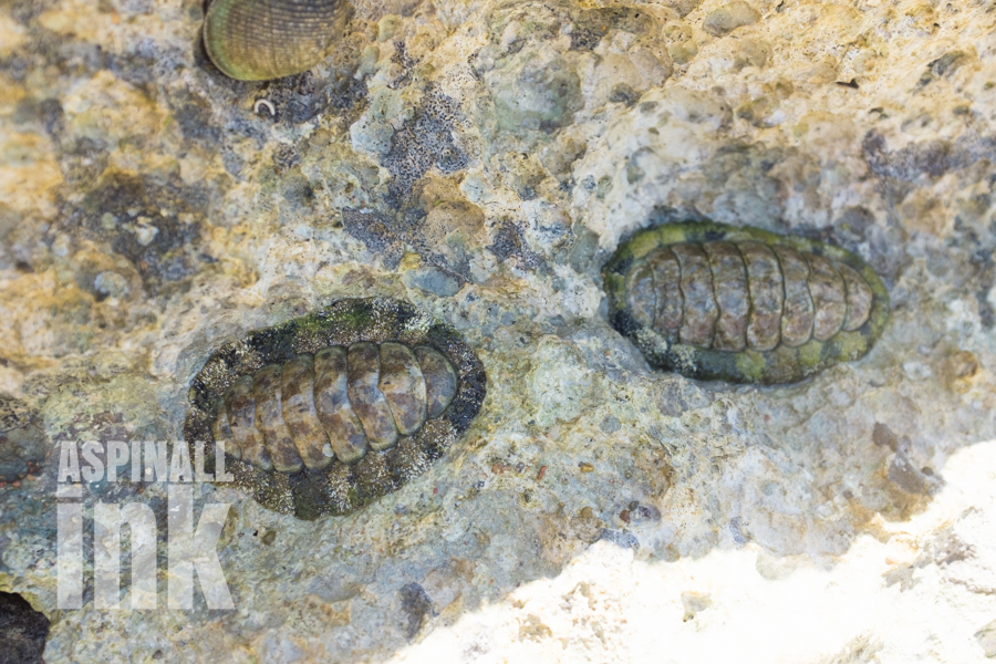 A large tropical species (possibly Acanthopleura vaillanti), around 7-8cm long.