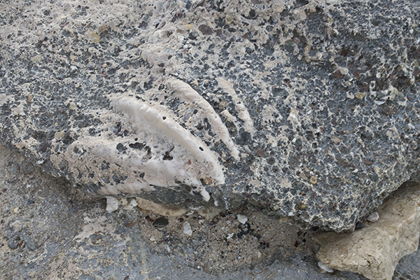 Shell detail in the 'fossil' beach.