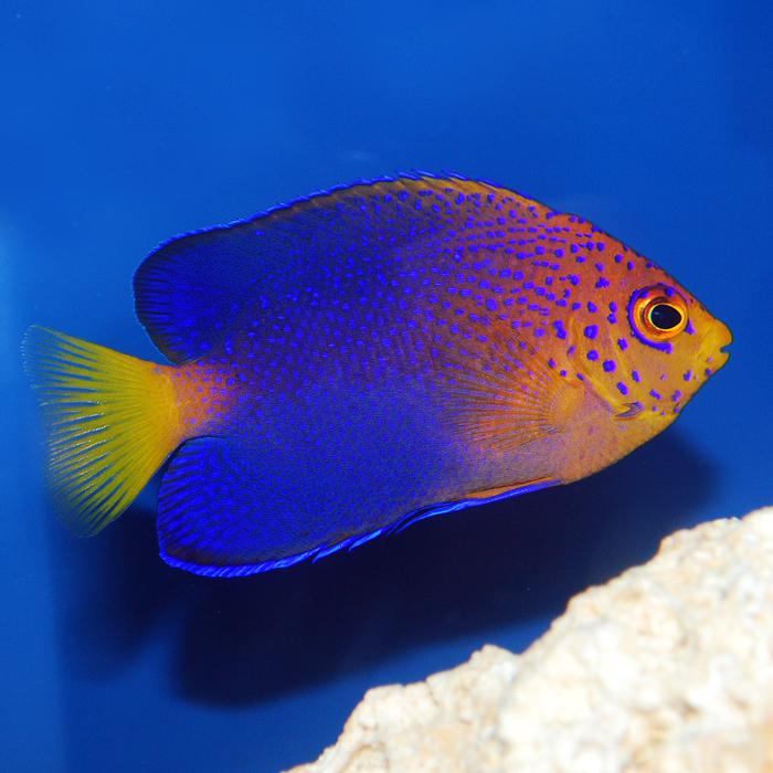 japanese angelfish reefs com