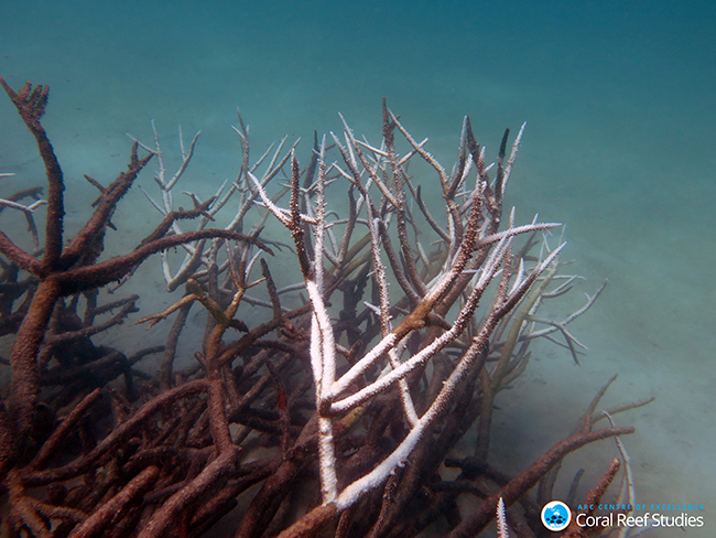 4.Dead and dying staghorn coral, central Great Barrier Reef in May 2016. Credit: Johanna Leonhardt