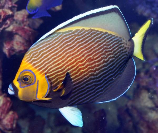 conspicillatus angel reefs com