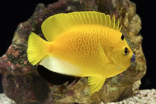 flagfin angel reefs com