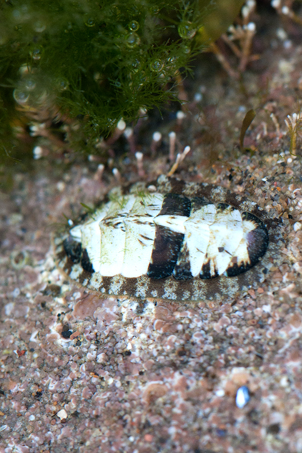 Most chitons found in UK waters are quite dull looking things, but not this fellow. Sadly I'm not an expert and I don't even know which genus this animal comes from.