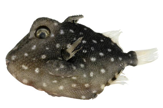 Xenobalistes Credit: Australian National Fish Collection, CSIRO