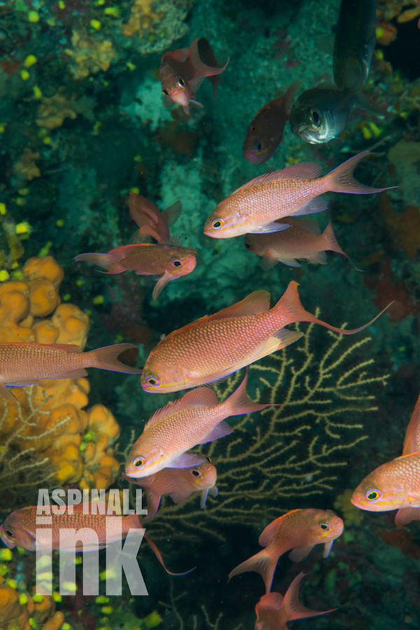 On occasion the Med (in this case the Aegean) has some great fish life, such as these deep-water anthias