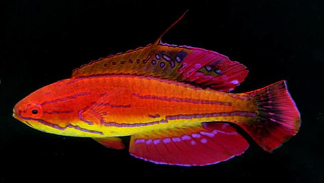 Paracheilinus mccoskeri X P. attenuatus hybrid, form Kenya. Credit: Aquaseeker