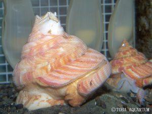 Mikadotrochus hirasei. Credit: Toba Aquarium