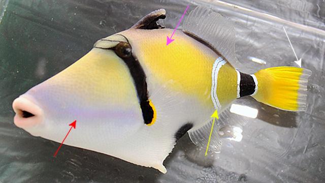 R. cinereus, from Mauritius. Credit: Pacific Island Aquatics
