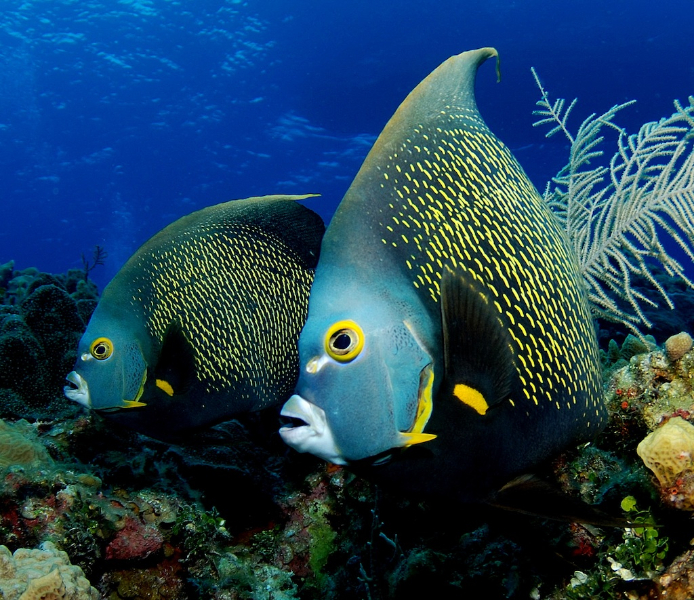 french angel reefs com