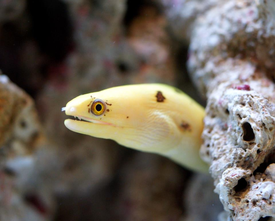 Banana Moray Eel | Reefs.com