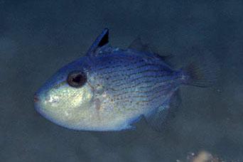 A recently settled uvenile of X. lineopunctatus, which looks little like tumidipectoris. Credit: Kenji Nin