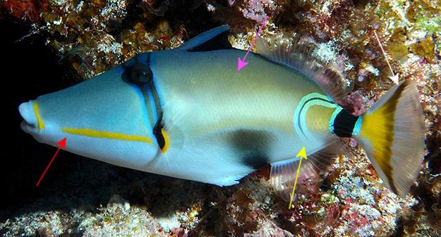 R. lunula, from New Caledonia. Credit: Richard Bajol