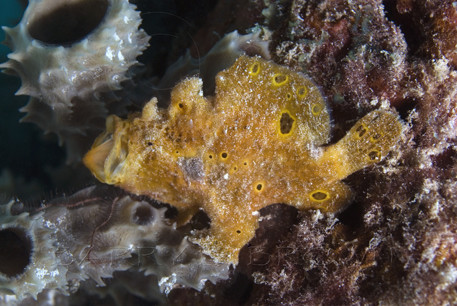 Longlure frogfish with mouth open. Antennarius multiocellatus. Bonaire, Netherlands Antilles. Unaltered/Uncontrolled. Digital Photo (horizontal). Model Release: Not Applicable.