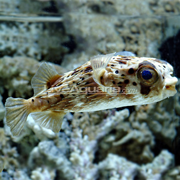 Porcupine puffer for Puffer fish florida