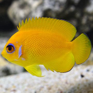 lemon peel angel reefs com