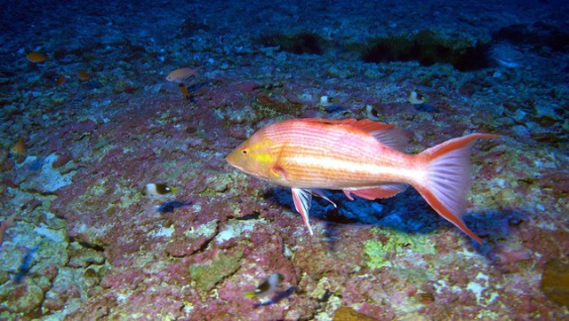 Male Hawaiian Pigfish Bodianus bathycapros.