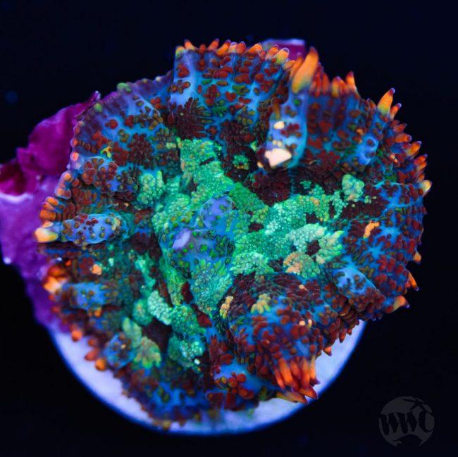 rhodactis mushroom - reefs