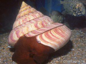 Entemnotrochus rumphii Credit: Toba Aquarium