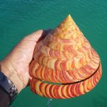 """A """"Living Fossil"""" For Your Aquarium – The Slit Shell Snail"""
