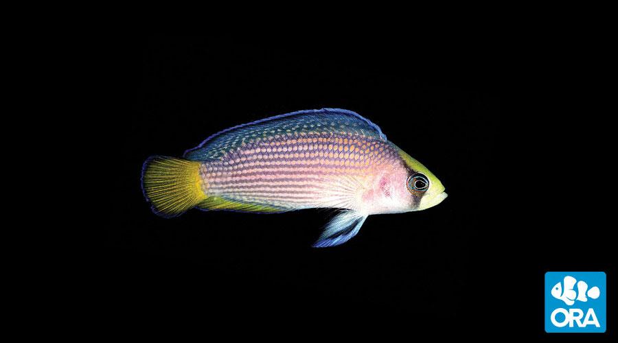 Dottyback Fish | Ora Splendid Dottyback Reefs Com