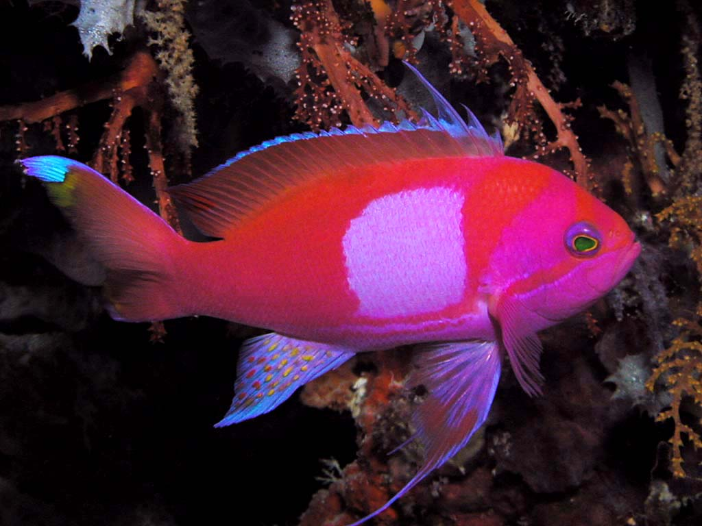 Square Anthias | Reefs.com