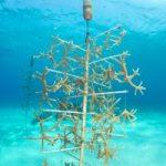 Curacao Coral Restoration Foundation, CRFCuracao