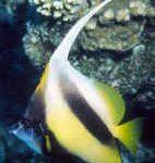 Red Sea Bannerfish