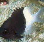 Black and White Chromis