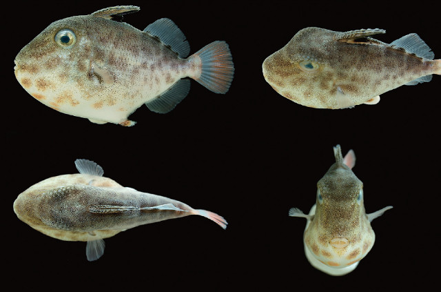 A 39.1mm X. tumidipectoris, collected at 200-300 meters near Okinawa. Credit: Matsuura & Toda 2012