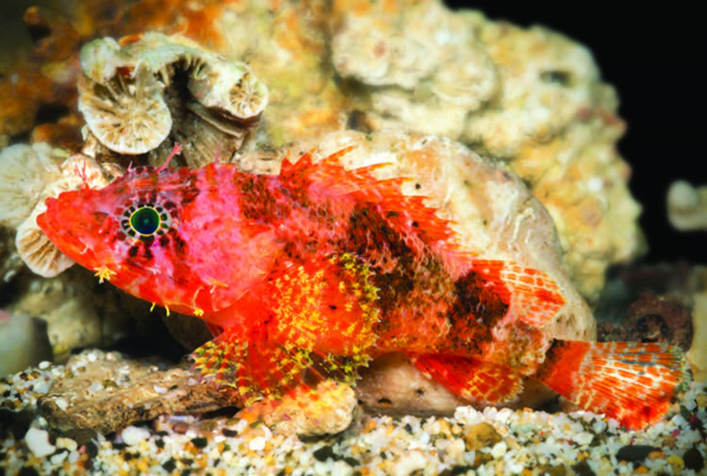 A Beautiful New Dwarf Scorpionfish from Caribbean Mesophotic Reefs ...