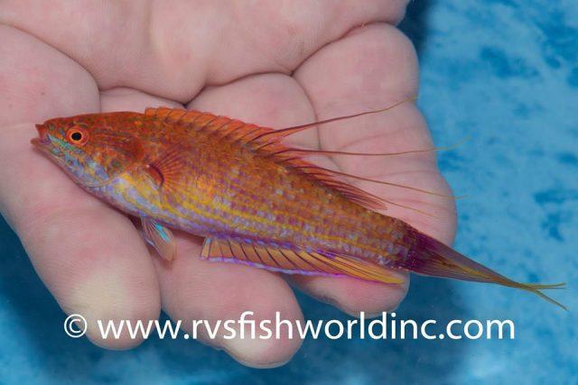 Paracheilinus bellae, from Cagayan, Philippines. Credit: Barnett Shutman / RVS Fishworld