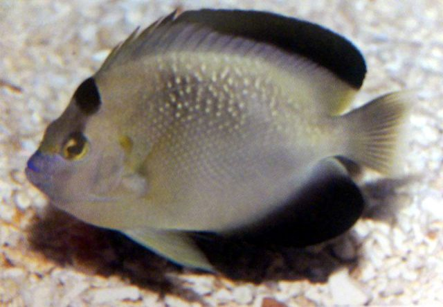 "Is this the true ""Griffisflake Angelfish""? Credit: unknown"