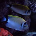 Focus on Fish – Regal Angelfish