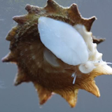 Astraea_phoebia - reefs