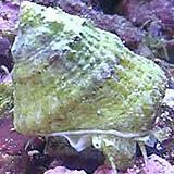 AstreaTurboSnail - reefs