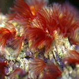Bispira_brunnea - reefs