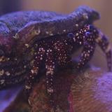Ciliopagurus_sp - reefs