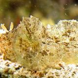 Dolabella_auricularia - reefs
