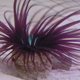 Eriathus_sp - reefs