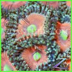 Zoanthids.com Everlasting Gogstoppers