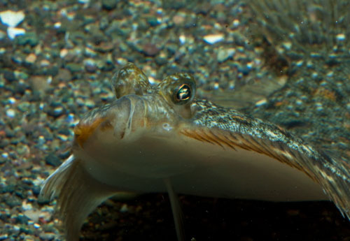 Young Winter Flounder