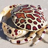 Hepatus_epheliticus - reefs